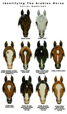Horse face markings. Second Hope Circle helps special needs pets in Ontario find homes through promotion, education and funding! www.secondhopecirle.org