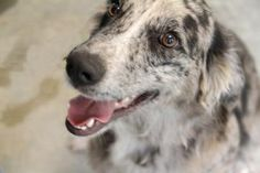 Adopt Jersey, a lovely 2 years  1 month Dog available for adoption at Petango.com.  Jersey is a Australian Shepherd / Mix and is available at the Hope Animal Rescues in ALTON, IL