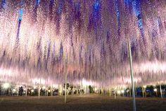 写真などでよく見られる紫色以外にも、黄色や桃色、白色など多彩な花を咲かせる藤の樹々。なかでも圧巻は、樹齢150年、600畳分もの面積の藤棚(写真)いっぱいに、長い花房を落として見せる大藤。そして80メートルにおよぶ白い藤の花のトンネルです。ライトアップされた夜の光景も美しく、その幻想的な光景が、映画『アバター』の魂の樹のようであると報道され、2014年にはCNNの「世界の夢の旅行先10カ所」の1つにも選ばれています。名称:あしかがフラワーパーク住所:〒329-4216 栃木県足利市迫間町607電話:0284-91-4939アクセス:JR両毛線富田駅から徒歩約13分URL:https://www.ashikaga.co.jp/