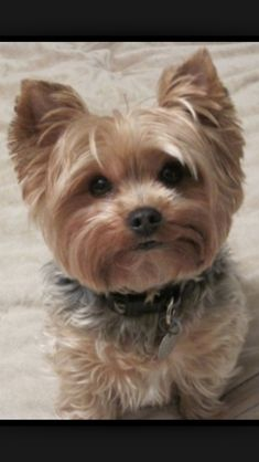 Yorkshire Terrier is one of the most popular dog breeds in the world, and despite their small size, Yorkies have Yorkies, Biewer Yorkie, Yorkie Puppy, Yorkie Teacup Puppies, Cute Puppies, Cute Dogs, Dogs And Puppies, Poodle Puppies, Yorkie Poodle