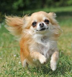 Effective Potty Training Chihuahua Consistency Is Key Ideas. Brilliant Potty Training Chihuahua Consistency Is Key Ideas. Chihuahua Love, Chihuahua Puppies, Dogs And Puppies, Chihuahuas, Doggies, Long Haired Chihuahua, Small Dog Names, Small Dogs, Small Breed