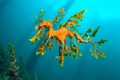 Leafy Sea Dragon by Tony Brown at Rapid Bay South Australia.   Pic Found on Australian Geographic on FB