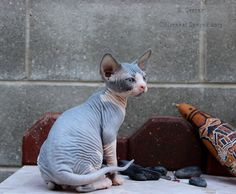 Xavier - (Sphynx cat) so pretty!!