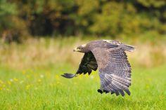 Steppe Eagle by Stanislav Duben, via 500px