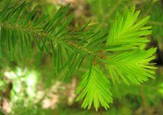 Sapin baumier (Abies balsamea) Herbs, Nature, Gardens, Plant, Naturaleza, Herb, Off Grid, Natural, Mother Nature