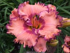 ITALIAN MARKETPLACE    the Lily Auction - The Fun Daylily Marketplace