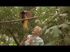 Bird Interrupts David Attenborough - Attenborough'S Paradise Birds : Video Clips From The Coolest One David Attenborough, Owl Bird, Pet Birds, Greater Bird Of Paradise, Funny Bird Pictures, Bird Houses Painted, Bbc Two, Most Beautiful Birds, Funny Birds