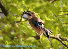 Vogels zoeken takjes voor het nestje in de lente