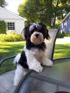 My havanese boy. So sweet.