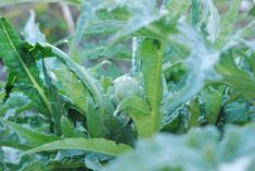 It's best to grow artichoke plants where the summers are cool and mild and where temperatures never fall below 25 degrees F., like coastal California where growing artichokes is a commercial enterprise; but if your garden doesn't fit the profile, don't despair.