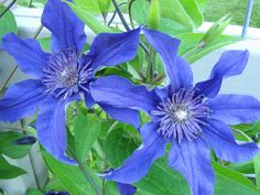 Clematis Sapphire Indigo - maybe crawling over the stump in the back garden