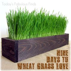 For my kitchen windows. Rustic fence post slat box & wheatgrass = awesome centerpiece.