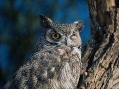 Imagenes Hd 4k, Western Screech Owl, Owl Mobile, Owl Wallpaper, Cute Animals, Owls, Raptors, Backgrounds, Friends