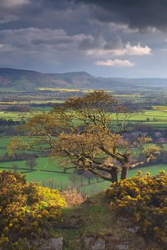 U.K. A lone Oak Tree catches the last of the evening light amidst stunning spring colors and the distant Cleveland Hills. North Yorkshire.