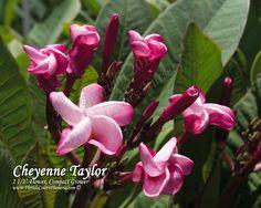 Plumeria by Florida Colors - Cheyenne Taylor Plumeria, $45.00 (https://www.floridacolorsplumeria.com/cheyenne-taylor-plumeria/)