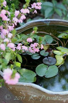 my 'Monet' Container Water Garden with cascading pink scaveola