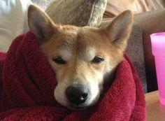 今にも溶けちゃいそうな柴犬たちの写真が……よだれが出るほど可愛えぇぇぇー!