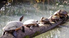 Napfürdőzés Tisza-tó Our Love, Hungary, Turtle, Animals, Animales, Tortoise, Animaux, Tortoise Turtle, Turtles
