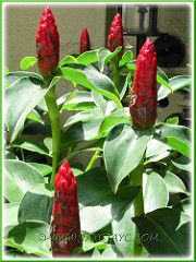 Costus woodsonii (Red Button Ginger, Scarlet Spiral Flag, Red Cane, Panamanian Candle Ginger, Dwarf French Kiss) This stunning and colourful plant that Ginger Flower, French Kiss, Colorful Plants, Indian Head, Red Button, Dwarf, Scarlet, Natural, Spiral