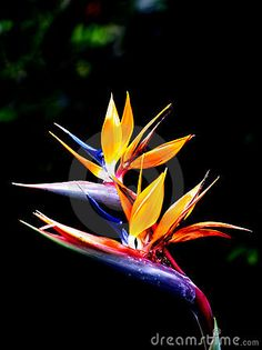 Two beautiful queen's bird-of-paradise flowers