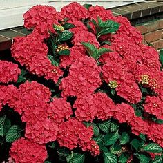 Royal Red Hydrangea. Zone 5-9. Huge 9-in. flowers in stunning all-out bloom throughout summer. Full and fluffy, they load the foliage—a glorious display of color. Branches bow under the sheer weight of the blossoms. Adaptable size for landscaping—grows 3-5 ft. tall. Best planted in full to partial sun.
