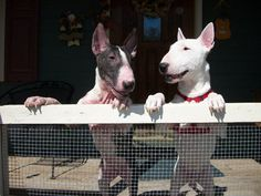 Bull terriers discussing politics.