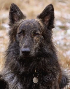Longhaired Dutch Shepherd...gorgeous, I wish I had this dog to go with my brindle dachshund!!!