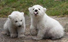 München: Eisbärzwillinge in Tierpark Hellabrunn auf Erkundungstour - SPIEGEL ONLINE - Panorama