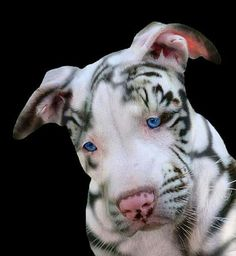 Pitbull that looks like a white tiger. An absolutely amazingly, beautiful animal. It doesn't get more unique than this. It's as rare as it gets