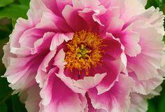 Retrato de peonía en el jardín de por PwderPointPhotgraphy en Etsy
