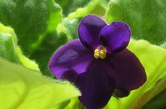 Les violettes africaines