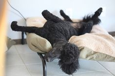 Receive fantastic pointers on poodles. They are readily available for you on our web site. Poodle Cuts, Poodle Mix, Poodle Puppies, French Dogs, French Poodles, Standard Poodles, I Love Dogs, Cute Dogs, Silly Dogs
