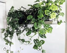"""Monstera adansonii, one of the lacier of the dramatic """"Swiss cheese plants."""" Thrives in medium to lower light. Let top 1/4 of the soil dry between waterings."""