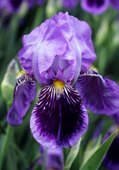 Iris 'Monsignor', 1907, Acc: 141841.