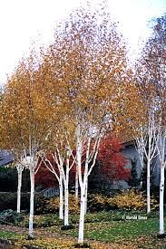 Betula jacquemontii (birch) this is fall color Small Back Gardens, Small Trees For Garden, Garden Trees, Garden Plants, Green Garden, Backyard Trees, Fall Plants, Contemporary Garden, Ornamental Grasses