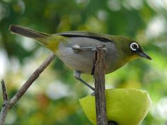 The Cape White-eye . Birds of Eden the largest free flight bird aviary in the world, Plettenberg Bay Activities Garden Route Adventures South Africa South African Birds, Bird Aviary, White Eyes, African Animals, Wild Birds, Beautiful Gardens, Westerns, Woodland, Cape