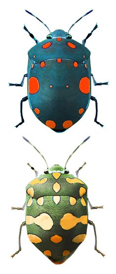 .Pachycoris torridus, different colors Check out more #Art & #Designs at: http://www.vektfxdesigns.com