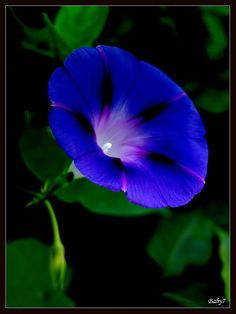 ~~Morning glory by baby7~~