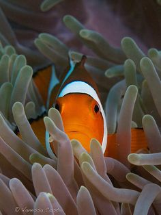 ✯ Never Boring Nemo :: Photo by Vanessa Costa ✯ Fish Under The Sea, Beyond The Sea, Saltwater Tank, Beautiful Japanese Girl, Underwater Life, Oceans Of The World, Colorful Animals, Ocean Creatures, Amazing Adventures