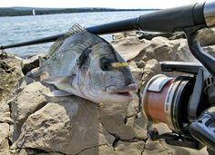 Orada, podlanica, lovrata, ovrata, komarča – samo su neki od naziva za ribu koja s pravom nosi naslov kraljice Jadrana. Uz najukusnije meso od sve bijele ribe, krasi je i karakteristika koja neće ostaviti nijednog ribiča ravnodušnim. Naime, njezina borbenost je opisana u mnogim ribičkim pričama, od kojih neke idu u rubriku 'vjerovali ili ne',(...)