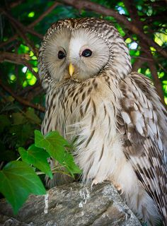 Ural Owl (Strix uralensis) a larger member of the wood owl family, found in forests from Scandinavia east to Japan, and is named after the Ural Mountains.