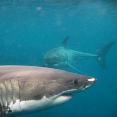 A pair of Great White Sharks All Sharks, Save The Sharks, Wild Creatures, Ocean Creatures, Orcas, Shark Pictures, Shark Images, Shark Jaws, Life Under The Sea