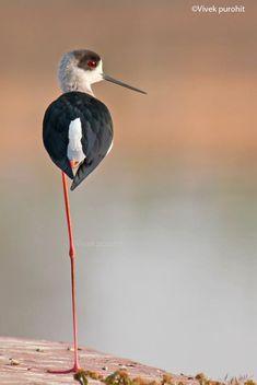 Black winged stilt by Vivekajeet Purohit