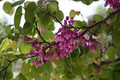 Cercis siliquastrum (árbol del amor), del género Cercis. Personal reference: School