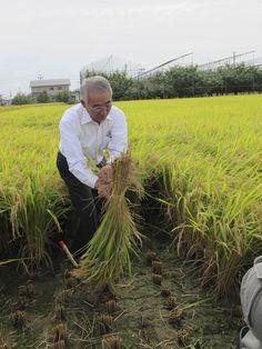 【稲刈り】田宮栄佐美町長が、見事な手さばきで稲をクルッとまわしながら束ねると、周りから歓声が上がりました!