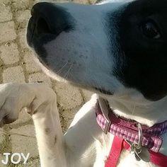 Give me that treat!! Give me that treat!! 🐾🐾🐶 Follow JOY at her Facebook page for many more photos and videos:  https://www.facebook.com/JOYMixedBreedGirl/  #dog #instagramdogs #ilovemydog #instapuppy #dogfamily #doggie #ilovemypet #dogofinstagram #happydog #dogface #dogsofig #dogselfie #doglovers #dogsofinstaworld #petstagram #doglover  #petlover #instadog #dailypawwoof #happydog_feature #dogsubmit