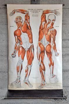 Union Wood Company — Vintage Anatomy Chart 1918 (Muscular)