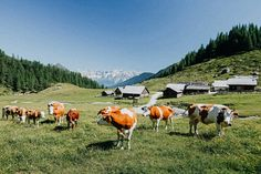 Farm with cows in Linharterhof, Austria My Heritage, Farm Animals, Austria, Switzerland, My Dream, Germany, Horses, Nature, Cows