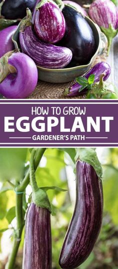 Eggplant will win you over with its array of colors and versatility in the kitchen. Native to Asia and in cultivation for thousands of years, this long-season, heat-loving annual is now enjoyed all over the world. Read more now on Gardener's Path.