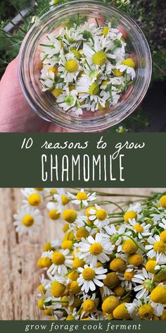 Chamomile is an awesome herb with many benefits for your health and for the garden Learn all about the different uses of chamomile flowers and tea with these ten reasons to grow chamomile chamomile herbalmedicine # Garden Types, Healing Herbs, Medicinal Plants, Organic Gardening, Gardening Tips, Gardening Books, Gardening Supplies, Chamomile Growing, Types Of Herbs